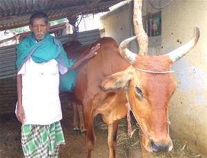 Suruli's dad with cow 2